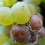 Der Schimmelpilz sieht vielleicht irritierend aus, bringt aber spezielle Weine hervor.
