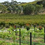 Blick vom Weingut Angove