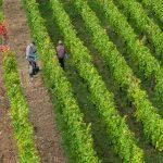 überall in den Weinbergen fleißige Hände